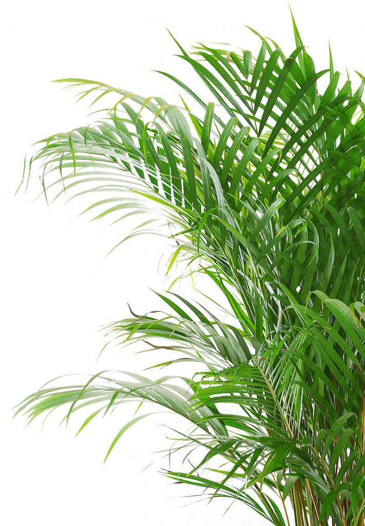 indoor-palm